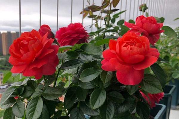 香奈儿阳台,很值得拥有的盆栽月季,花朵又美又香,四季都开花!