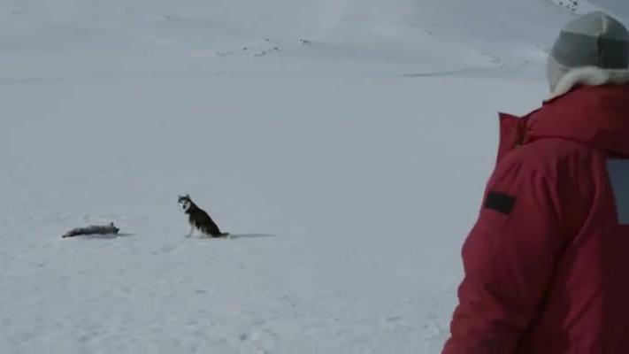 南极大冒险:雪橇犬的忠诚,不会抛弃同伴,找到断腿的玛雅