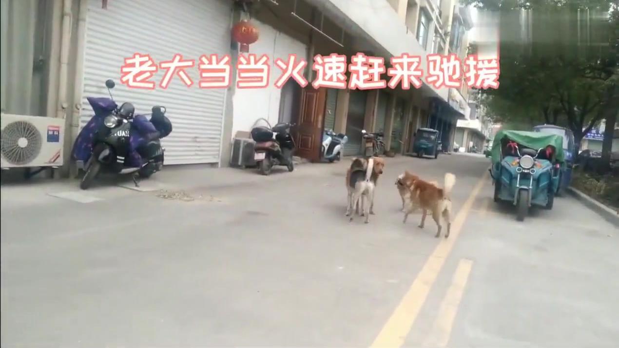 陌生金毛犬闯入领地,田园犬当当一招制敌,控制场面