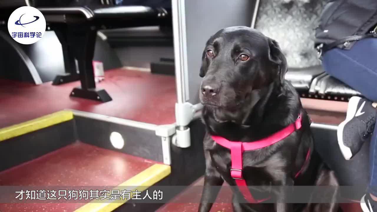 会自己坐公交车的狗狗,还能够自己刷公交卡,网友:自己溜自己?
