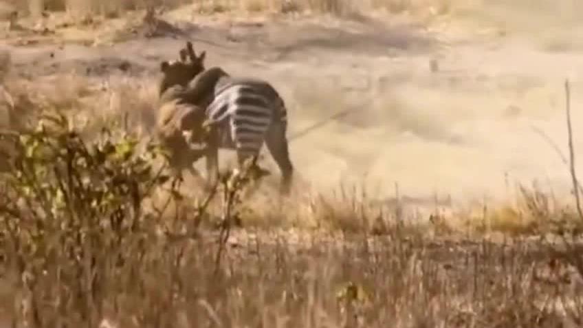 这是我看过战斗力最强的一匹斑马,顽强的毅力让人佩服