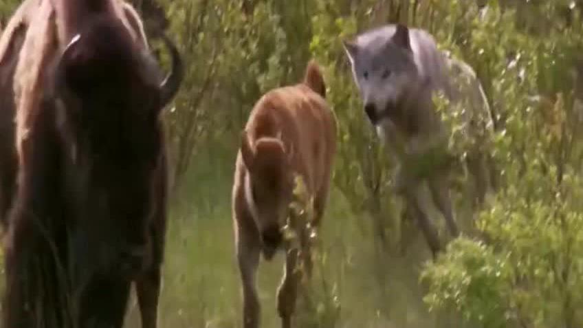 猎狼袭击小野牛,母野牛把小野牛从猎狼中拯救出,母爱力量就是大