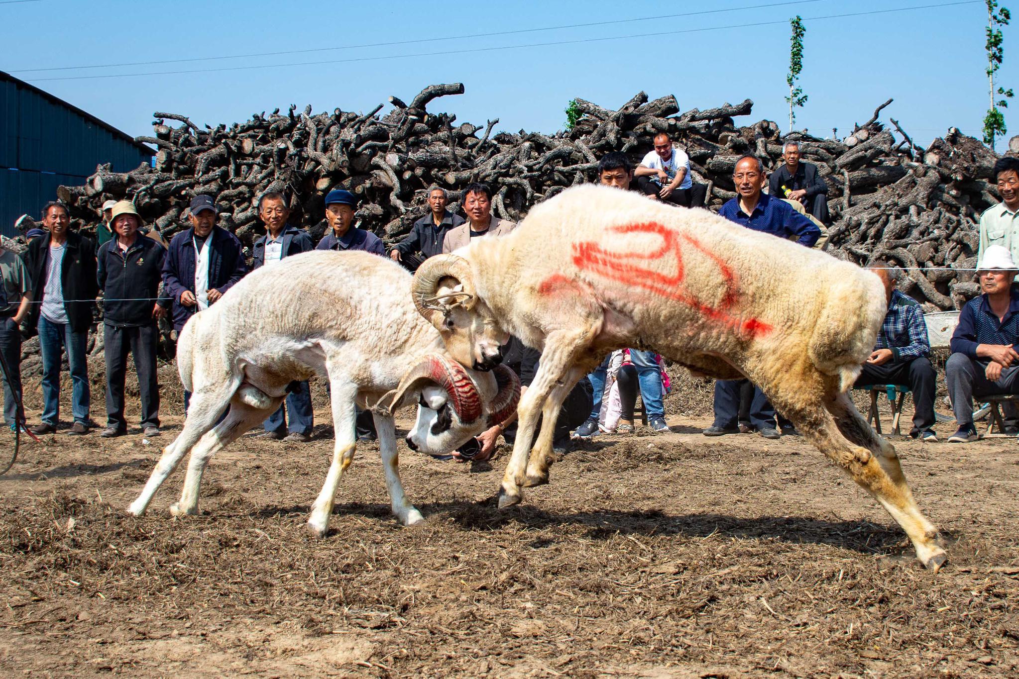 颅骨差点撞碎!豫北农村斗羊比赛,场面凶悍,千人围观,交易繁忙