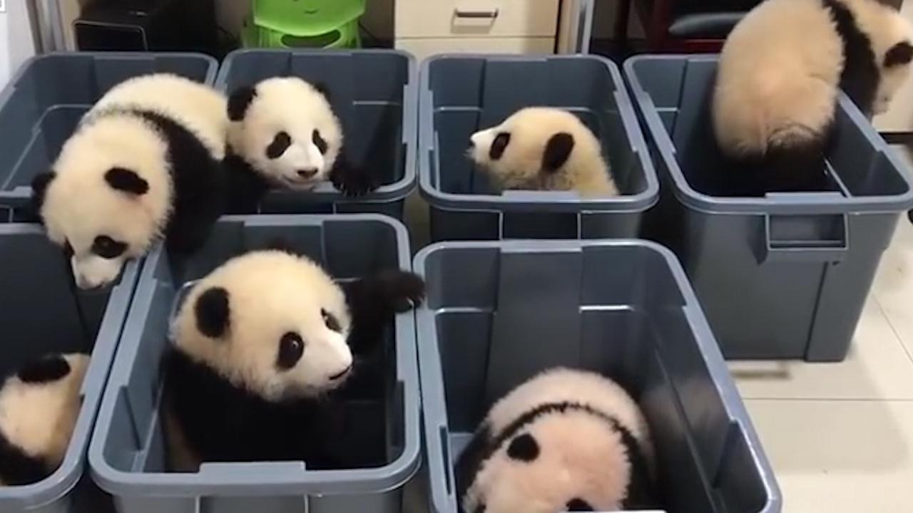 熊猫宝宝集体越狱,刚要成功时,结果被一声吼叫又给吓回去了