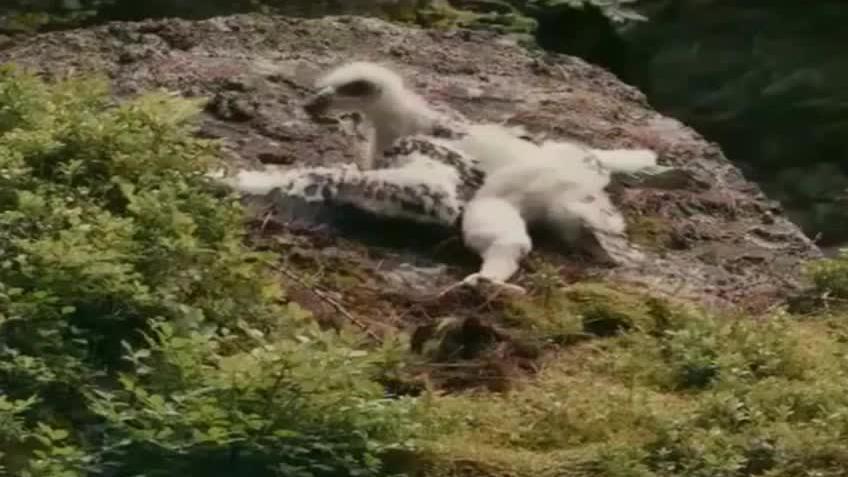 雏鹰被兄弟推下万丈悬崖开始别样的成长