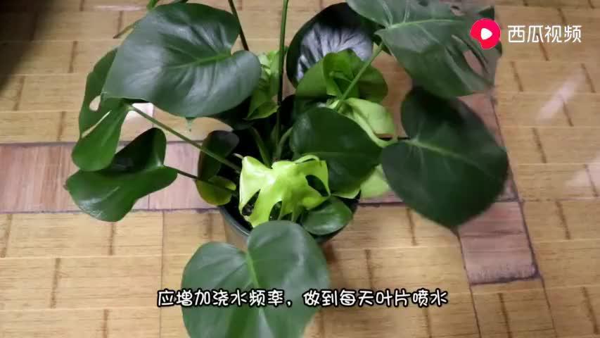 养殖龟背竹,掌握这几点,叶片油绿,蹭蹭长爆盆!