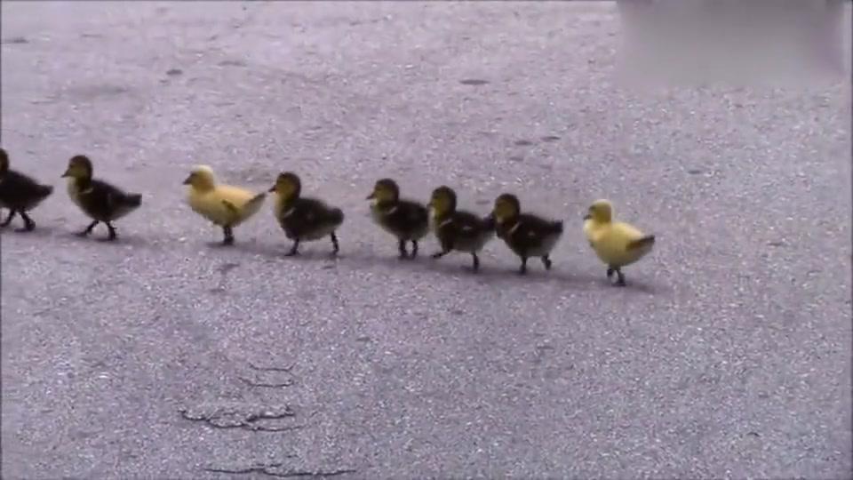 小鸭子过马路队形超整齐,像排练过一样