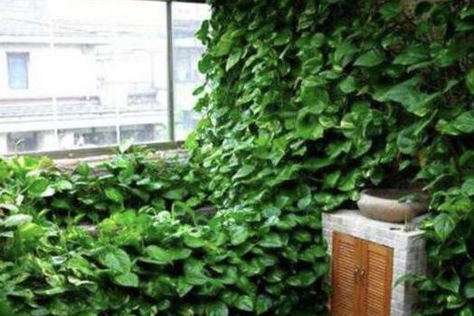 养绿萝就得用万能养花肥,10天一次,枝干不到3个月就窜出半米