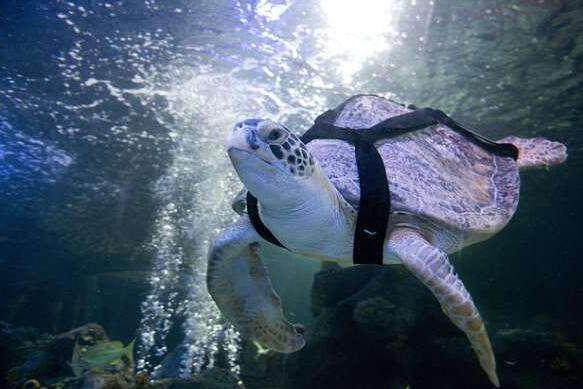 海龟遭船只撞破龟壳, 生活11年海洋公园, 人类帮助重回大海