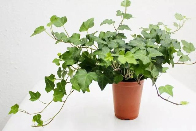 绿色瀑布活力无限,秀丽非凡的常春藤这么养,青春常在