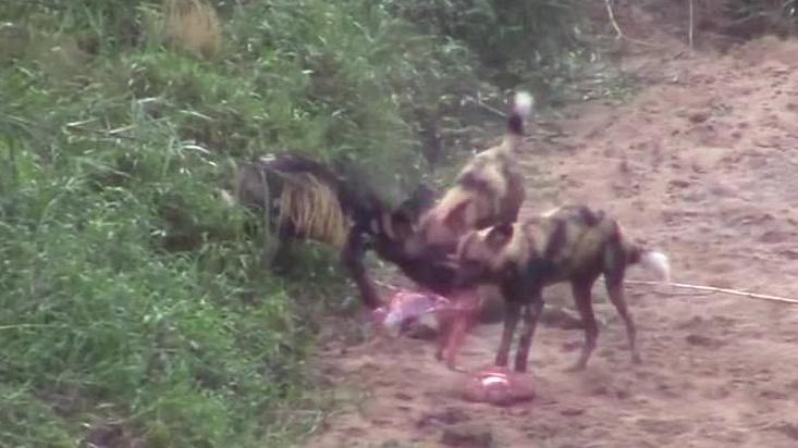 最凶狠的掠食者,野犬们在数秒内猎杀了黑斑羚!快速干净利落