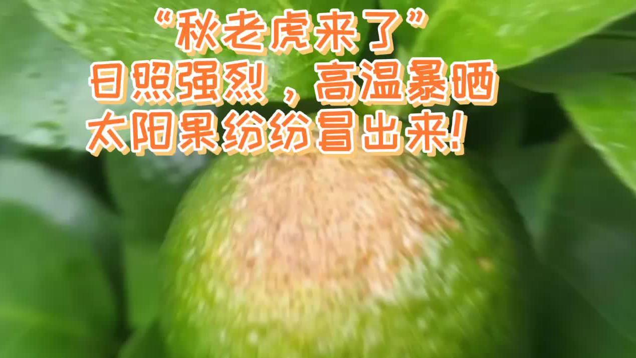 果园太阳果频频冒出来,柑橘防晒用渔柑膜涂白,防病防虫防日灼