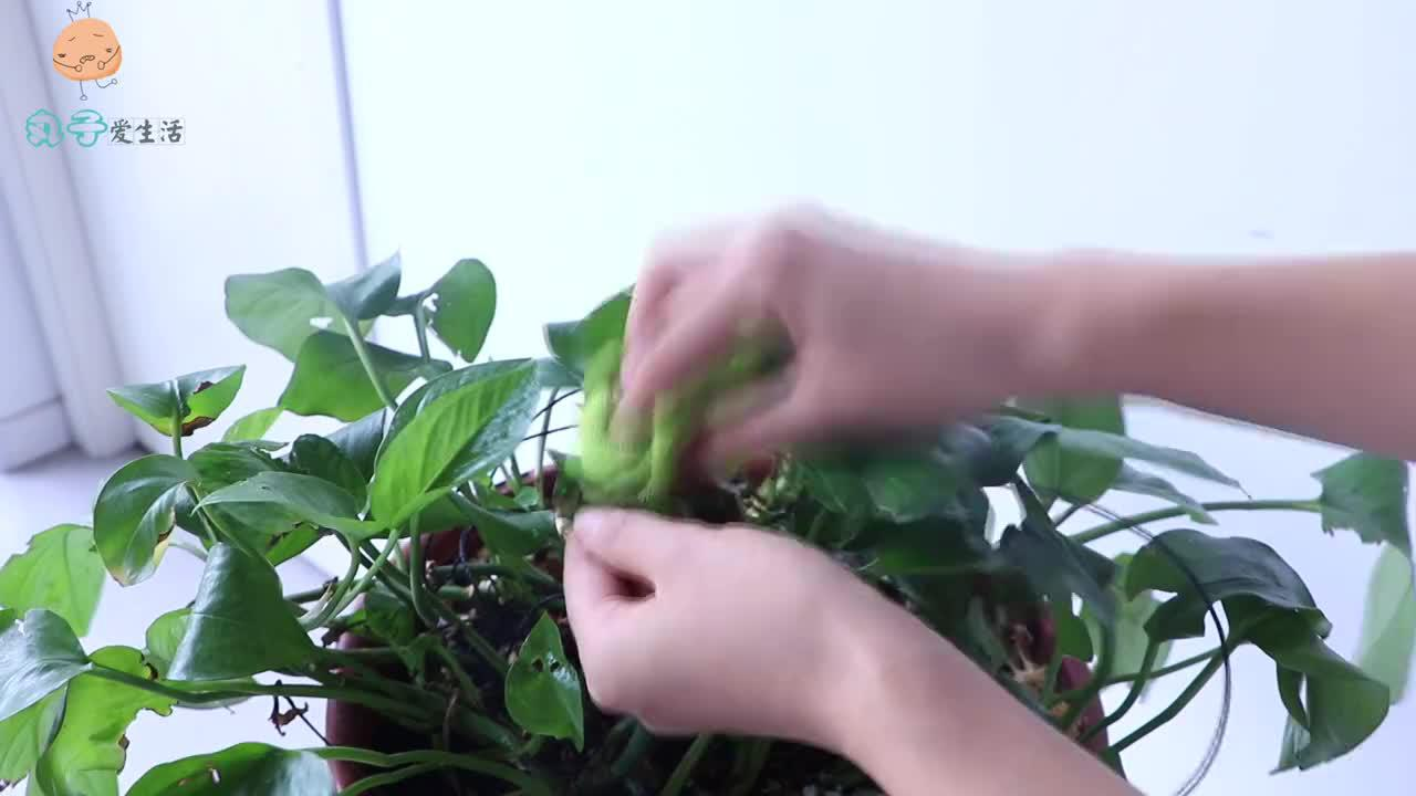 一把小苏打用来养花,好处多又大,花草不生虫,根壮叶绿爆盆不断