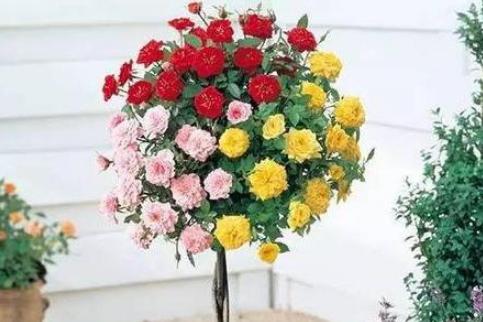嫁接双色棒棒糖月季,养护注意这点,像把彩色的伞!