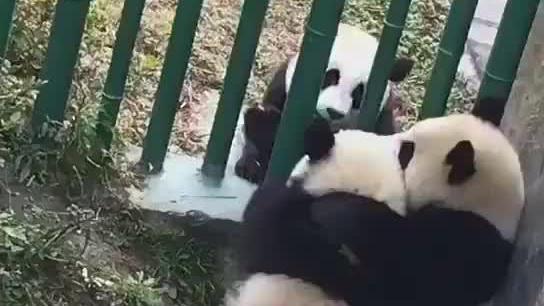 大熊猫说:你们这是在干什么?当我不存在吗?我应该在车底吧