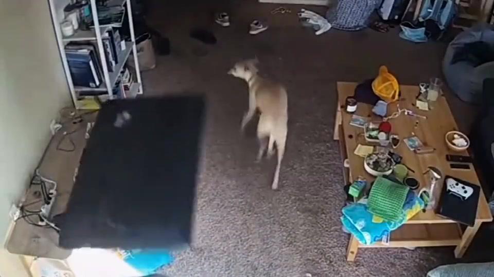 爆笑:这狗三天不挨打就上房揭瓦!