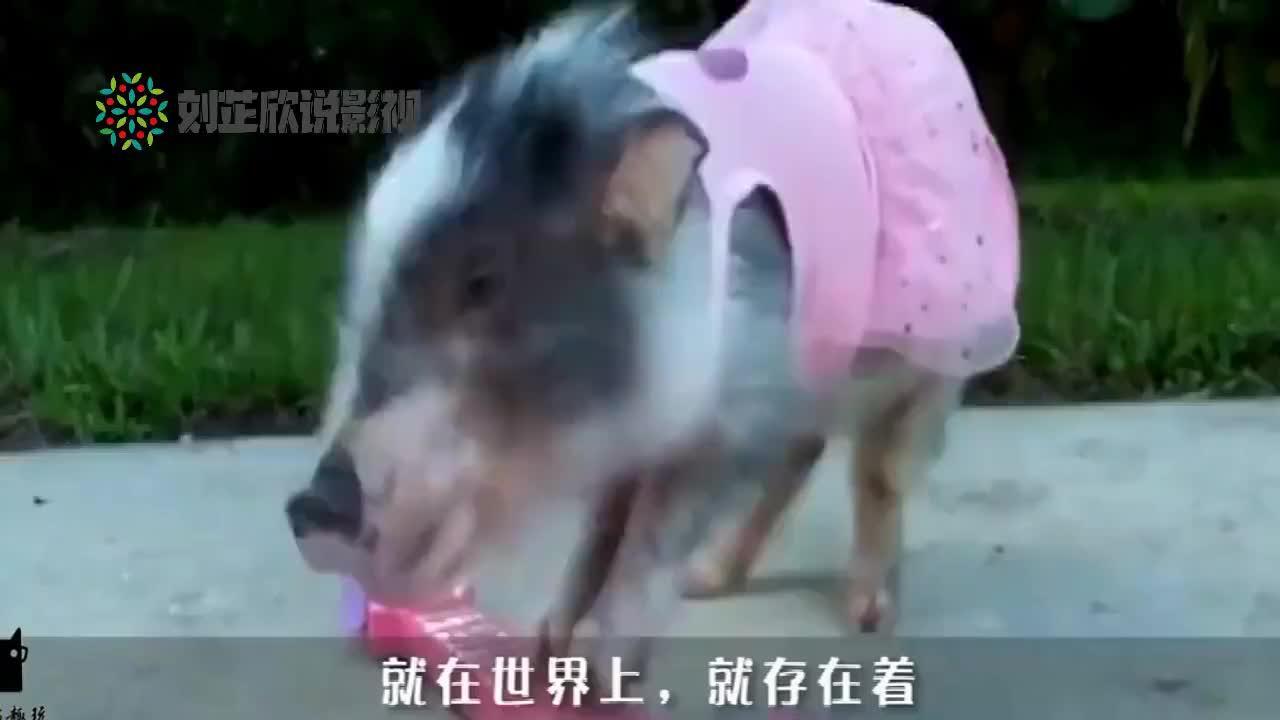 绵羊和野猪也能交配?如果不是亲眼看见,你会相信吗?
