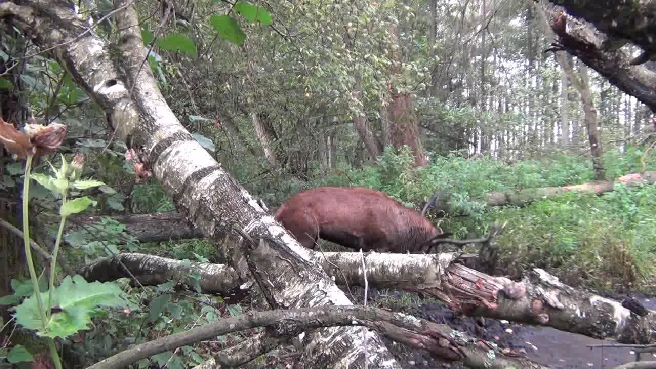 林深时见鹿,庞大的雄性麋鹿在一片泥地玩泥巴!好像发现了拍摄者