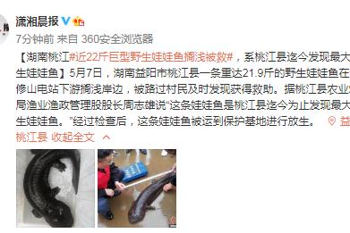 湖南桃江近22斤巨型野生娃娃鱼搁浅被救 系桃江县迄今发现最大的