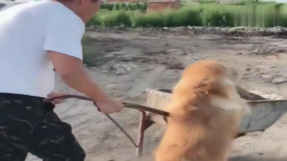 金毛妞妞帮爸爸干活,这狗狗太懂事了!