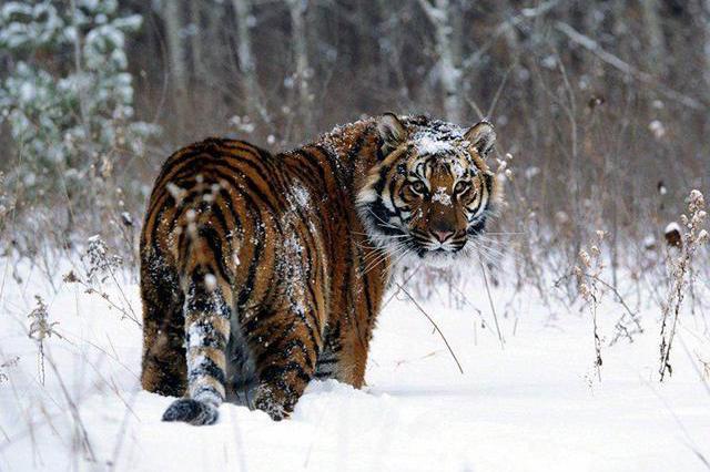 俄国的野生东北虎为什么比我国多?因为50年代时东北的老虎出国了