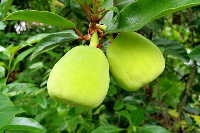 这种挂在树上的小野果外形像无花果,农民常拿它做凉粉,你吃过吗
