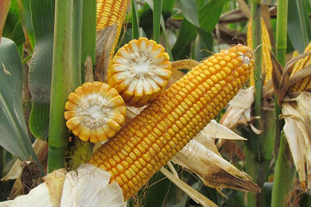 今年玉米价格大涨,小麦也达历史新高,三主粮下半年行情咋样?