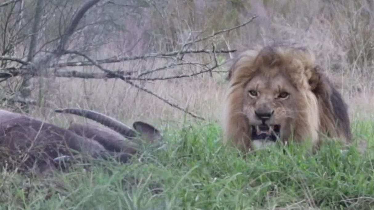 身经百战的雄狮,独自狩猎!发现被偷拍,愤怒冲击摄影师