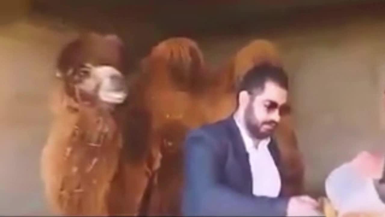 """重口味防疫!伊朗男子称骆驼尿可治新冠肺炎 现场""""干了""""一杯"""
