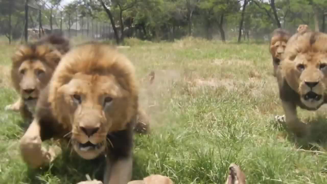 饲养员隔着铁网,呼唤雄狮联盟用餐!狂奔而来 甚是吓人
