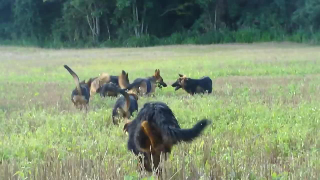 青春洋溢的德国牧羊犬,在田野中奔跑!未来护卫犬中的佼佼者