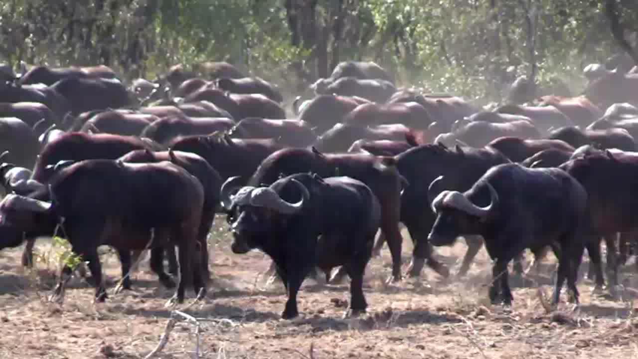 食草动物也会争夺地盘,暴躁河马驱赶饮水中的水牛们