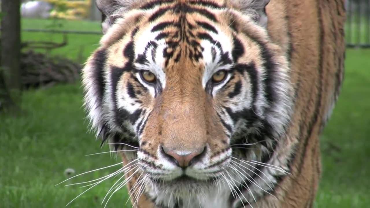 大老虎冷血杀手般的眼神,静悄悄的靠近拍摄者!眼神很吓人