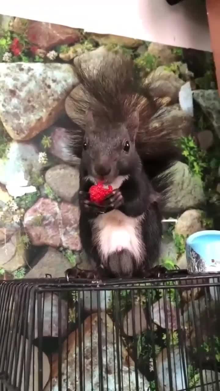 超级可爱的小松鼠,小家伙居然爱上了草莓,难受