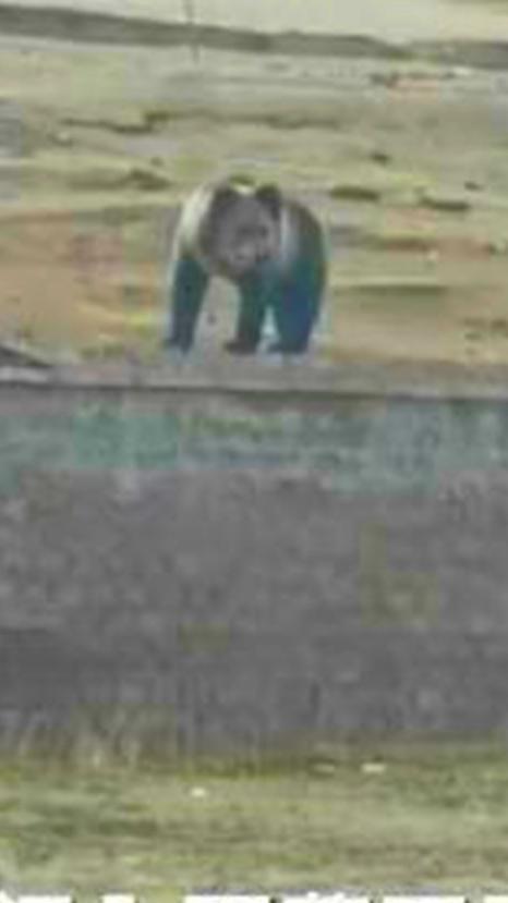 野生棕熊误闯营区军犬小黑奋勇出击