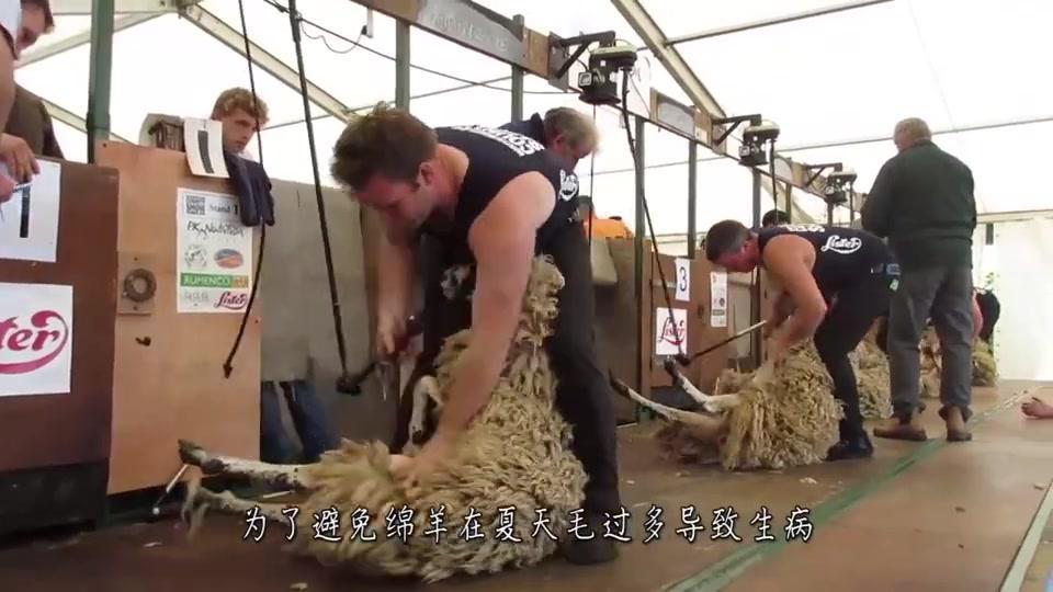 羊被赶进狭小的匝道,工作人员却手拿剃刀,几下毛被刮掉一大片!