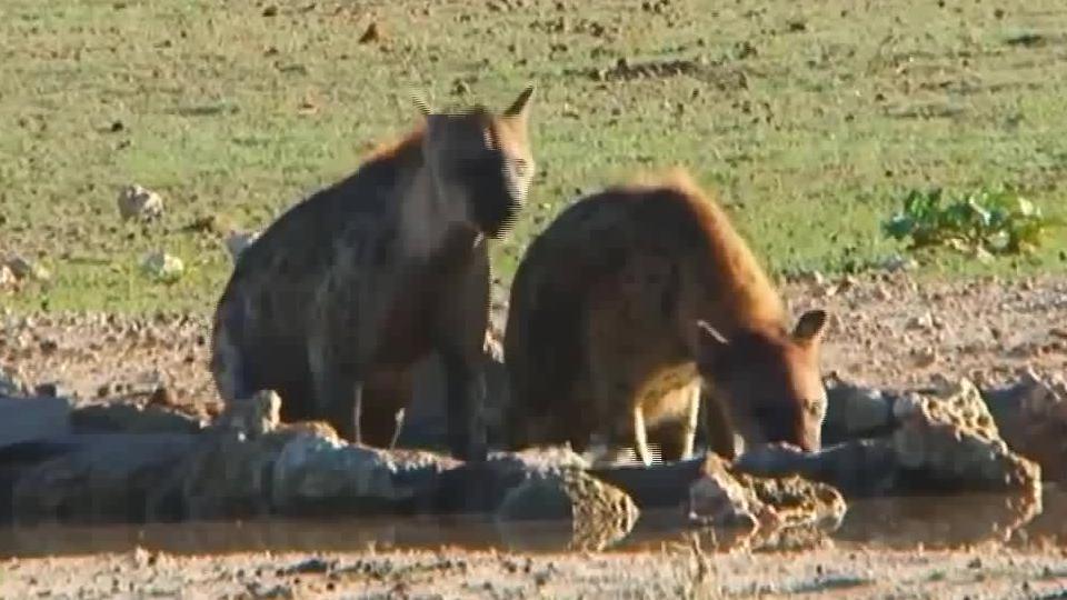 鬣狗外出侦查!偷懒泡在水中降温,周围没有食草动物敢靠近