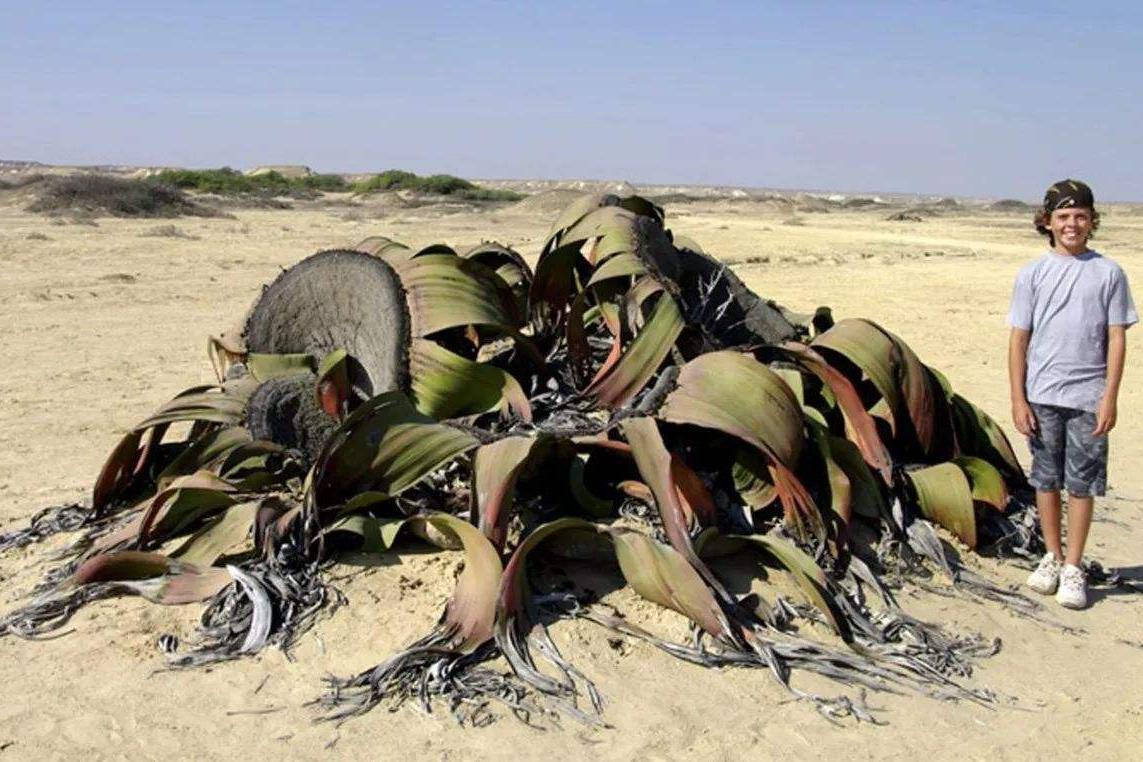 """传说中的""""沙漠章鱼"""",只需水分便能生存,最长寿者能活两千多岁"""