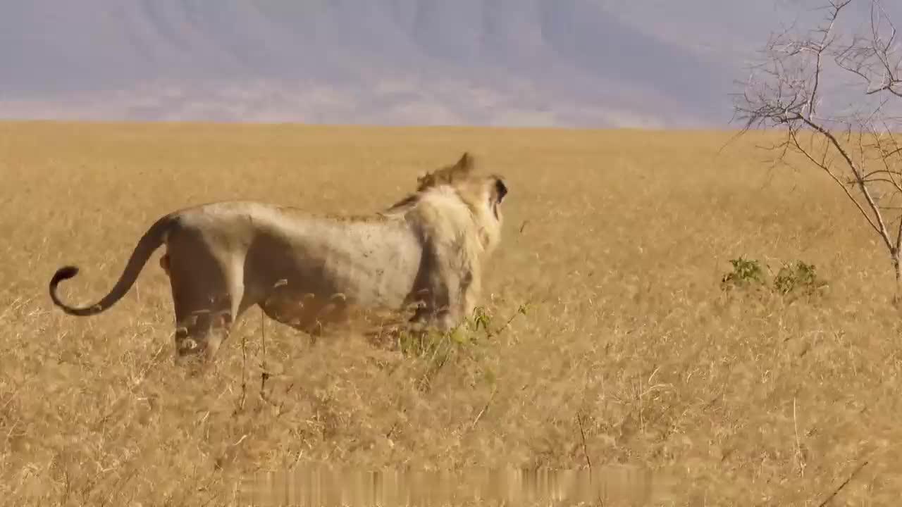 孤独的雄狮,独自在长草中游荡!尾巴一卷,傲视草原
