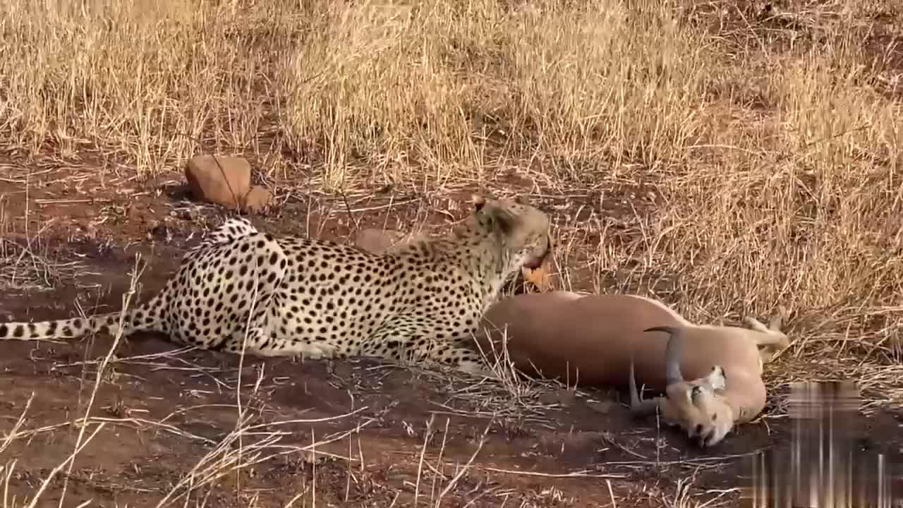 迅雷不及掩耳之势,豹子猎杀黑斑羚!咬脖子开吃,一群秃鹫捡漏