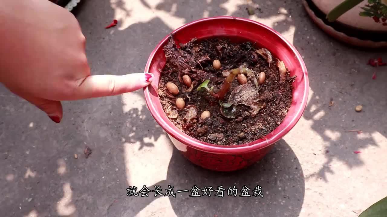 杏核撒在花盆中,轻松长成盆栽,比绿萝、吊兰还要好看