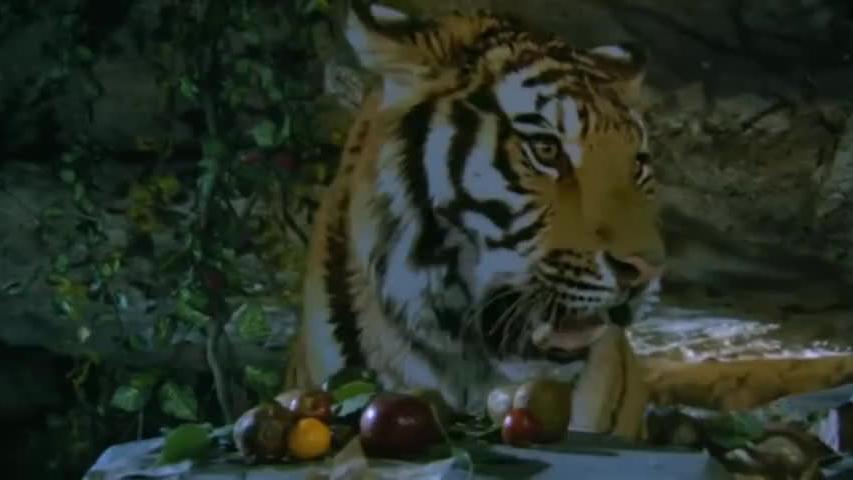 小伙被老虎养大拿一堆水果给虎妈妈填肚子,谁料虎妈妈开口说话了