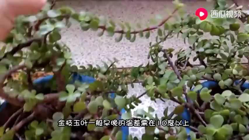 金枝玉叶养的总掉叶?用这几个方法,枝条繁密长更旺!