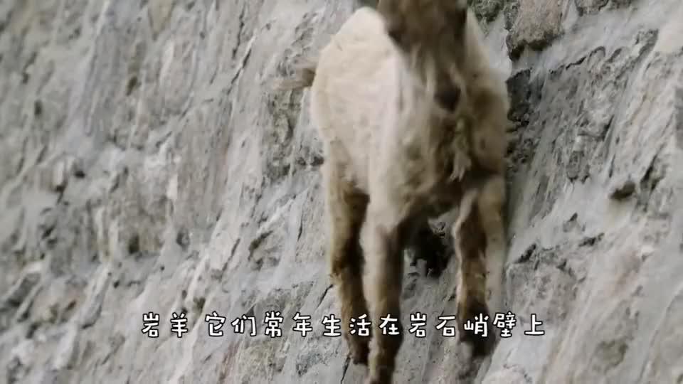 金雕死死抓住岩羊后背,但却被它吓到魂飞魄散,镜头拍下惊险一幕