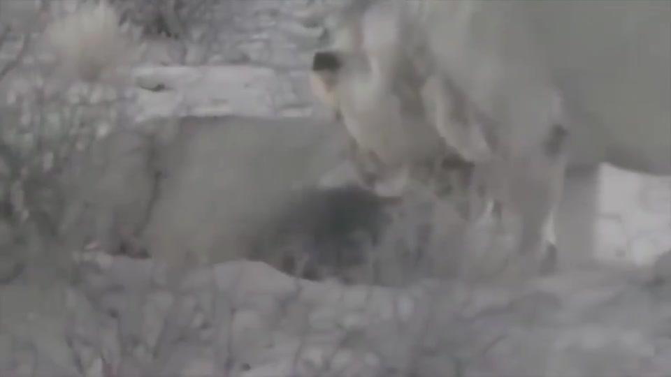 毫无戒备的棕鬣狗无意中闯入狮子领地,再也没有机会离开了