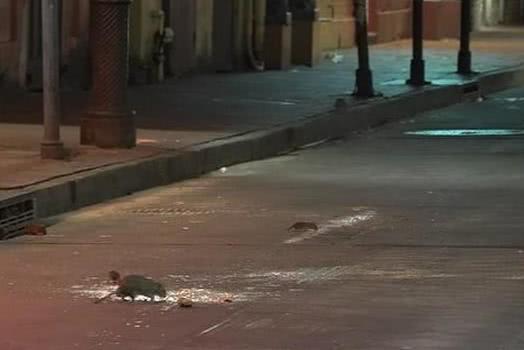 """老鼠过街不再人人喊打!疫情封锁之下,美国老鼠成了""""街头霸王"""""""