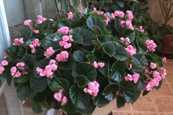 玻璃翠,优秀的室内盆栽绿植,全年都开花,种植很容易,值得入手