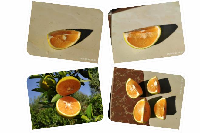 霜降:正宗红江橙果色、果肉、糖度进一步优化中,期待上市...