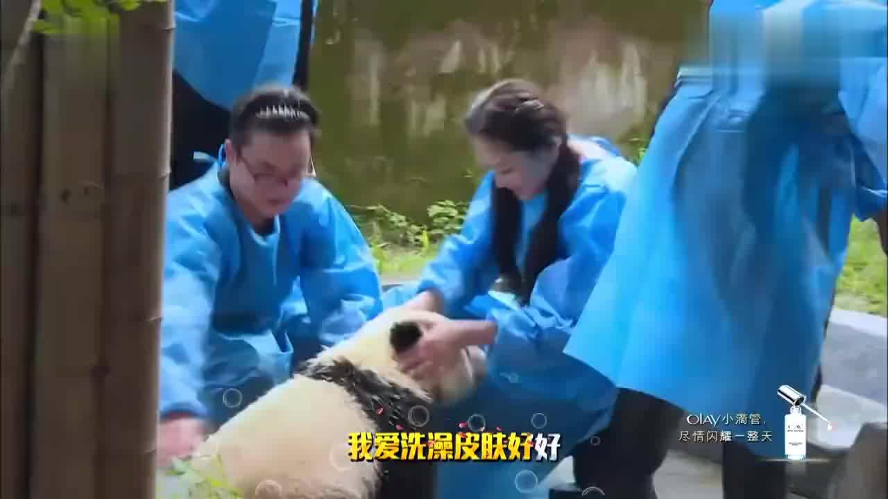 爱洗澡的熊猫宝宝最可爱 江一燕爱心泛滥
