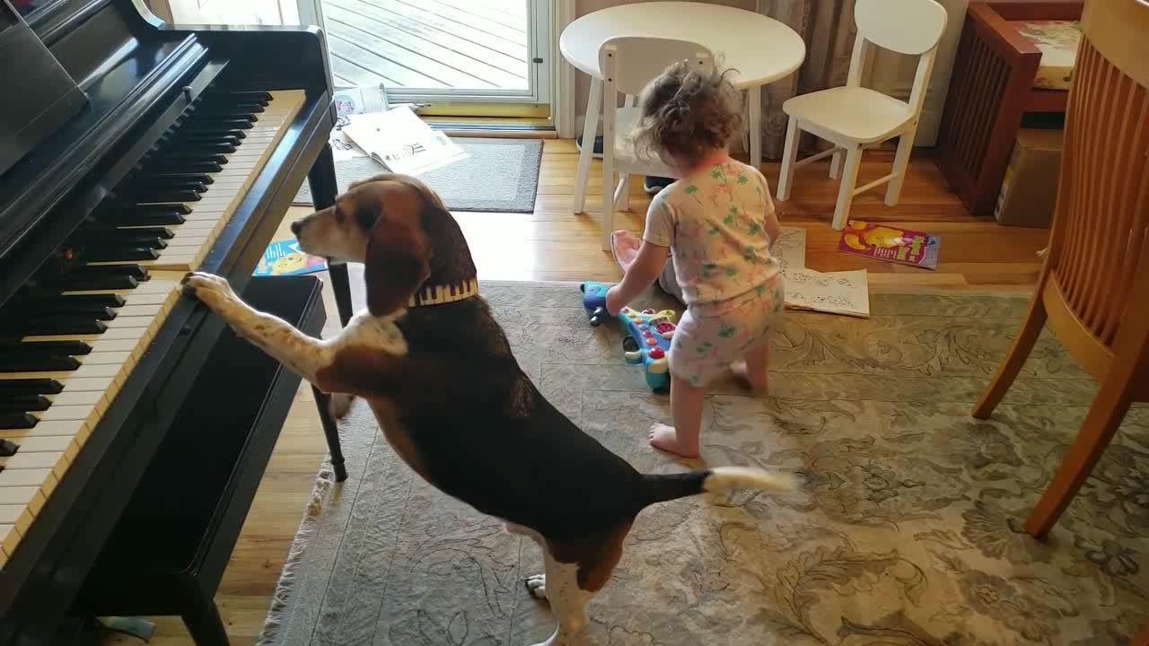 天才比格犬!竟然会弹奏钢琴来配合小女孩,一起玩耍